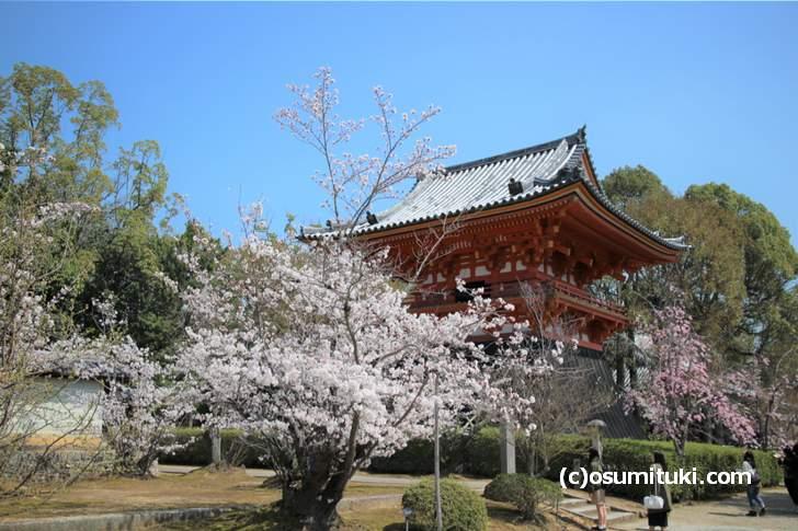 仁和寺(西門)の八枝垂桜は小さめですが数が多いです