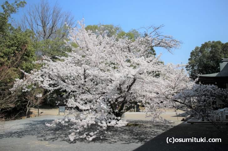 仁和寺(東門)の八枝垂桜は大きくで真っ白に咲いた桜を間近で見られます