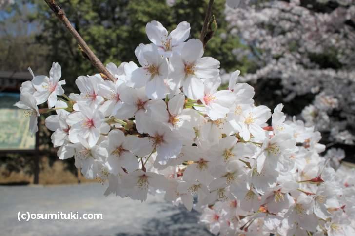 仁和寺の桜見物はお金が必要?