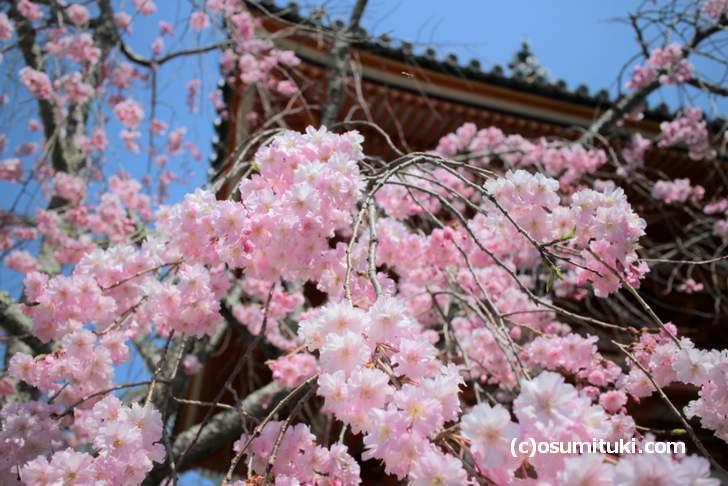 御室桜が咲き出しそうな4月初旬が見頃です