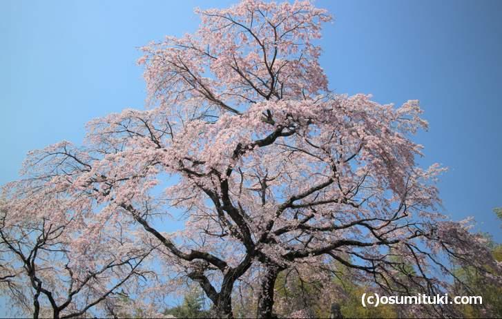 京都で大きな桜が見られる・・・この場所はどこ?