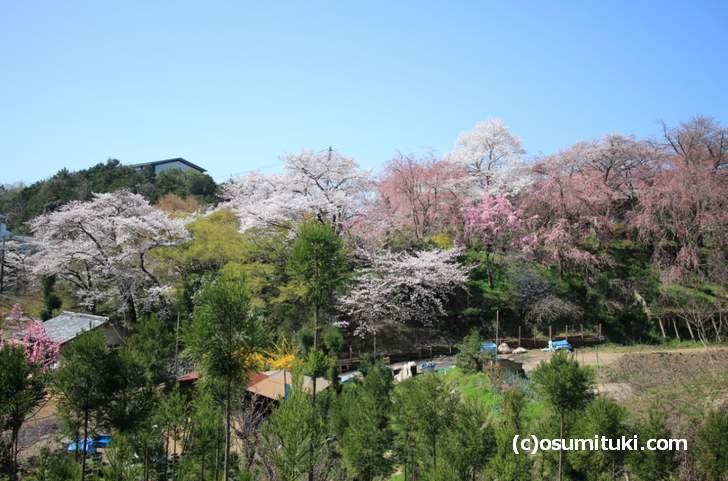 ソメイヨシノは満開、紅枝垂れ桜は3分咲き(2018年3月30日撮影)