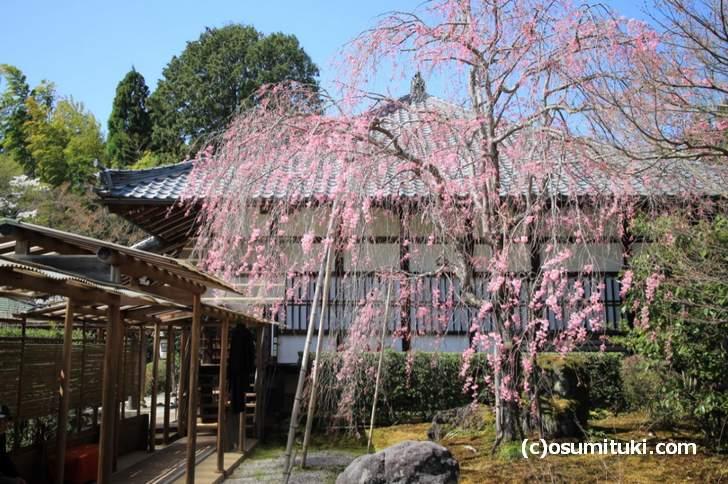 紅枝垂れ桜は満開です