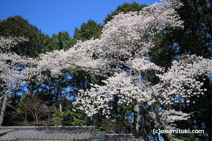 吉野大夫のお墓前にも桜の巨木があります