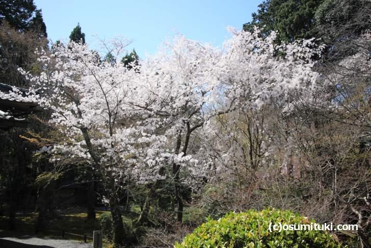 庭園に大きな桜がいくつもあります