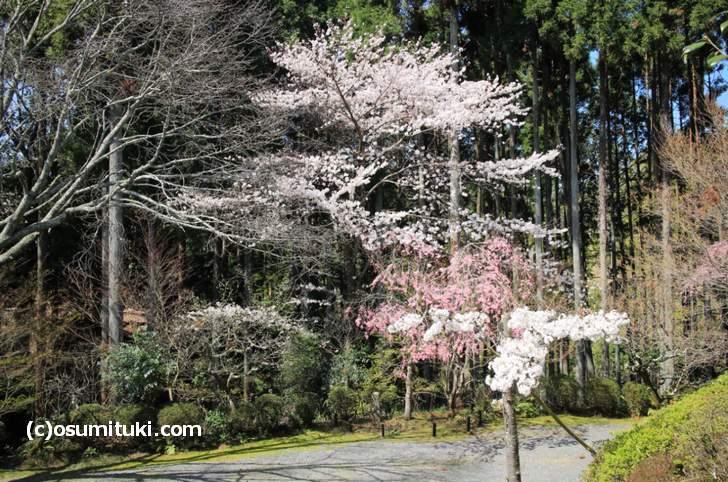 空いているので、じっくりと桜を見ることができました