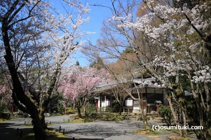 意外と知られていない桜の名所「常照寺」