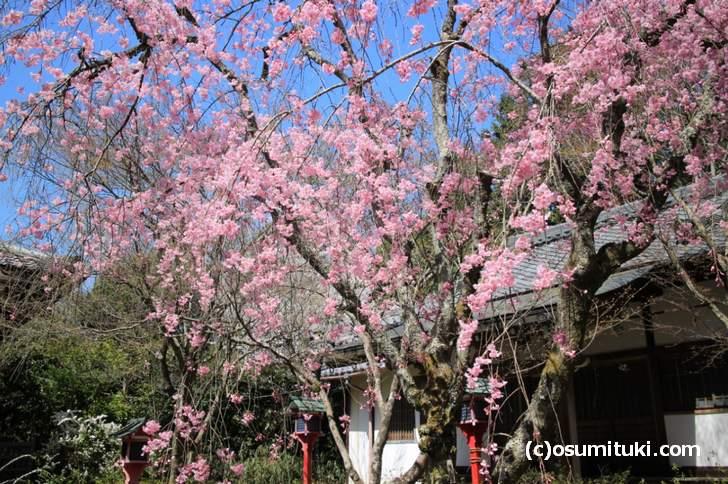 常照寺の桜は満開でした(2018年3月30日撮影)