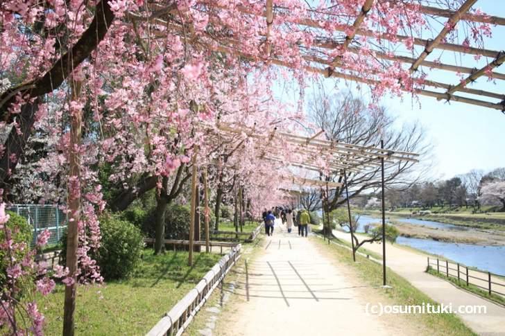 半木の道(なからぎのみち)の桜(2018年3月30日撮影)