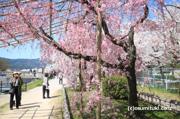 有料で桜を見せる名所よりもっとスゴイ桜の名所があります