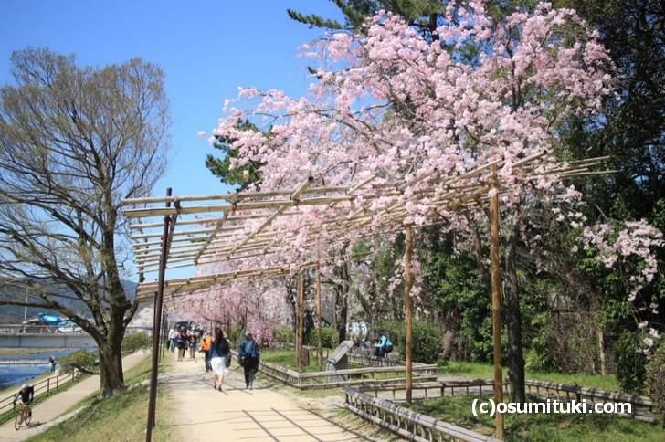 3月30日は風が強くて落花が多かったです