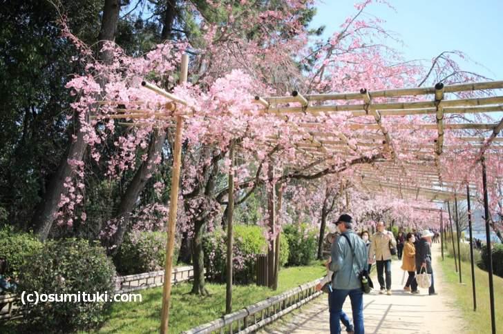 半木の道もキレイですが、地元民ほど上流で桜を見ます