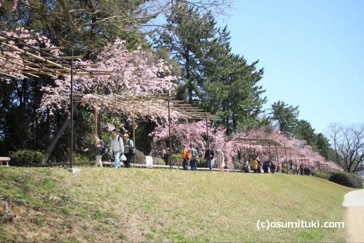 半木の道の桜は少しボリューム感に欠けるのです