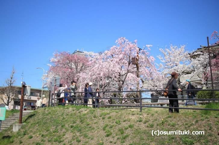 上流へ行くほど人は少なくなって、桜はボリュームを増していきます