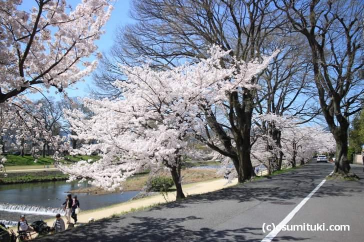 北山大橋~御薗橋までの桜(2018年3月30日撮影)