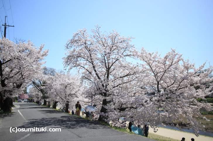 桜のボリュームが上流ほど増していきます(2018年3月30日撮影)
