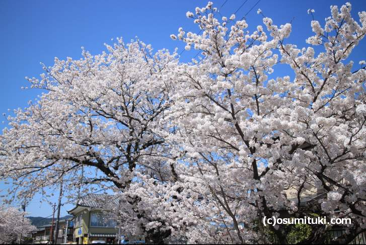 上流ほど桜は満開です(2018年3月30日撮影)