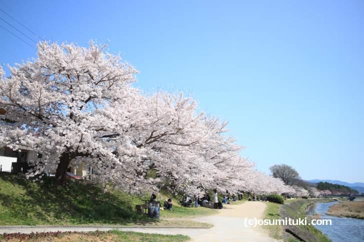 半木の道よりも圧倒的なボリュームの桜があります(2018年3月30日撮影)