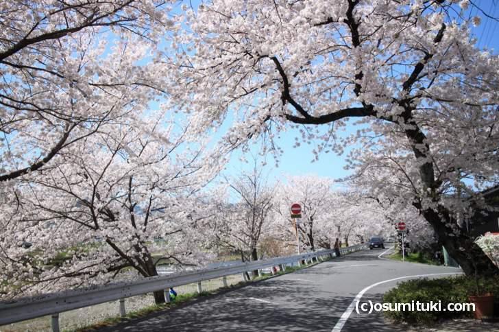 上賀茂橋~御薗橋までは桜のトンネルが続きます(2018年3月30日撮影)