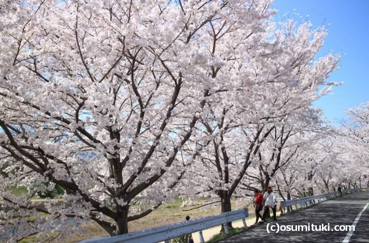 下流とは桜のボリュームが違います