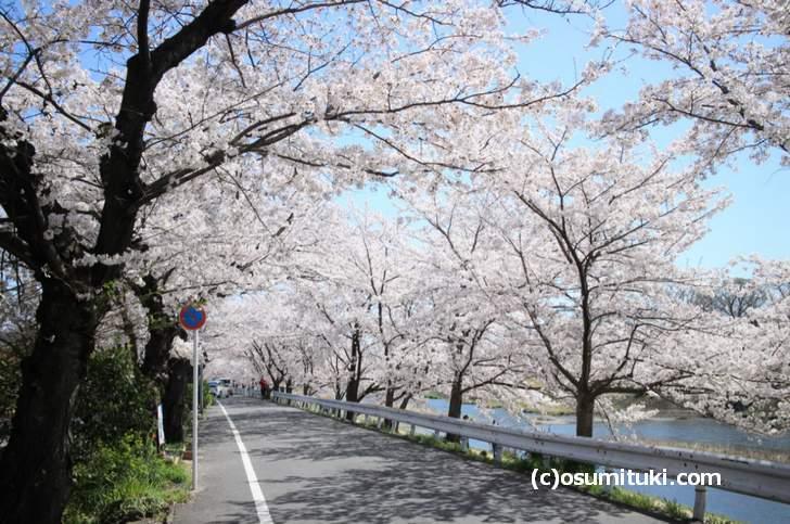 御薗橋付近の桜が一番キレイです
