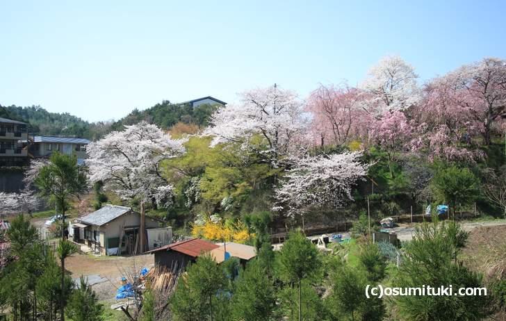 ソメイヨシノは満開、紅枝垂れ桜は6分咲き(2018年3月31日撮影)