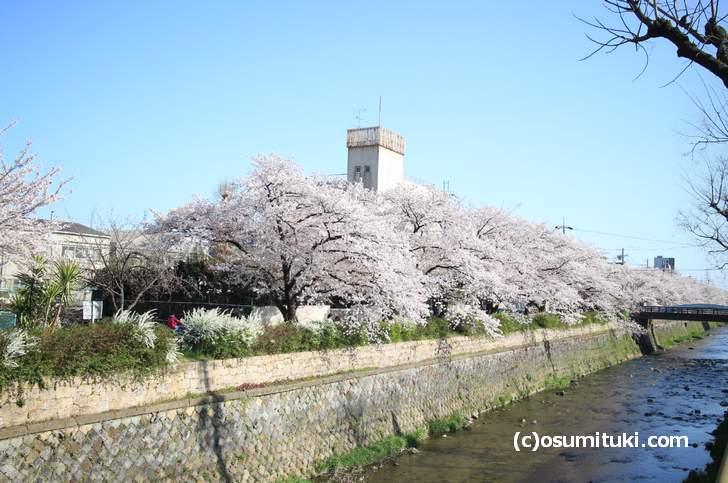 東の天神川には2km近くある桜並木があります