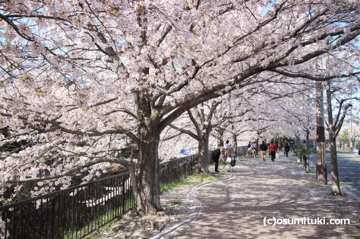 天神川から宇田川に少し入った場所にある桜並木(2018年3月30日撮影)