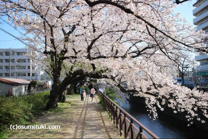 天神川沿いの散策道には桜がたくさん植わっています(2018年3月30日撮影)
