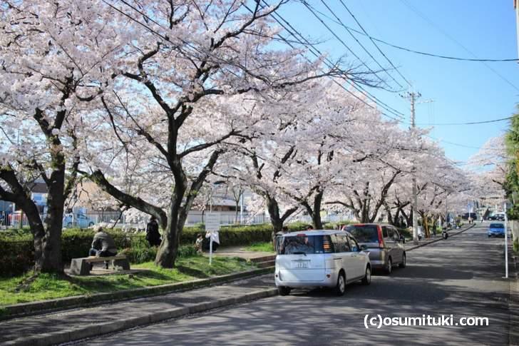 天神川高辻から四条通までの桜並木、花見の家族や近隣の会社員が多かったです(2018年3月30日撮影)