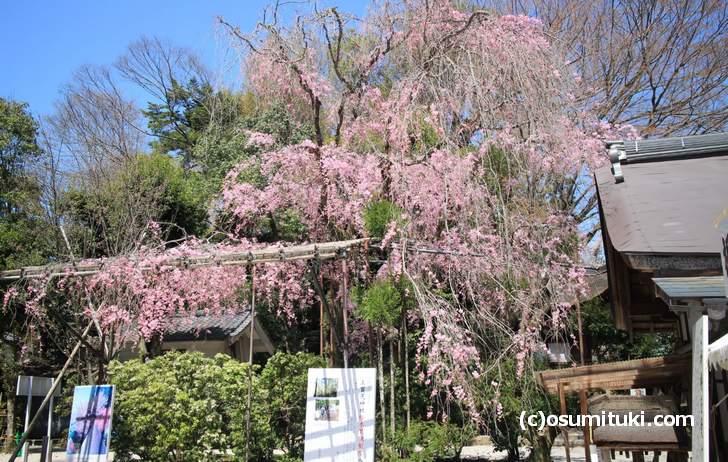 有名な上賀茂神社の「みあれ桜」は満開を過ぎていました(2018年3月30日撮影)