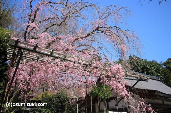 御阿禮(みあれ)の名が付くのが「みあれ桜」です(2018年3月30日撮影)