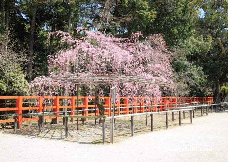 上賀茂神社の「風流桜」は見頃(2018年3月30日撮影)
