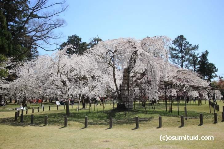 上賀茂神社の「御所桜」は見頃(2018年3月30日撮影)