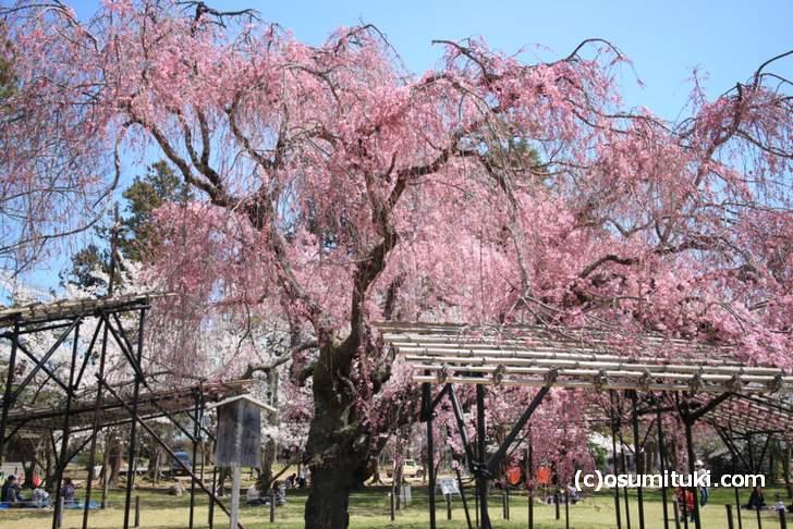 上賀茂神社の「斎王桜」も見頃(2018年3月30日撮影)