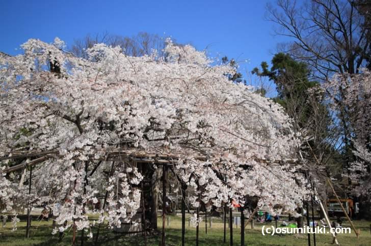 御所桜などが並ぶ参道にはゴザをひいて花見をする地元の方がいました