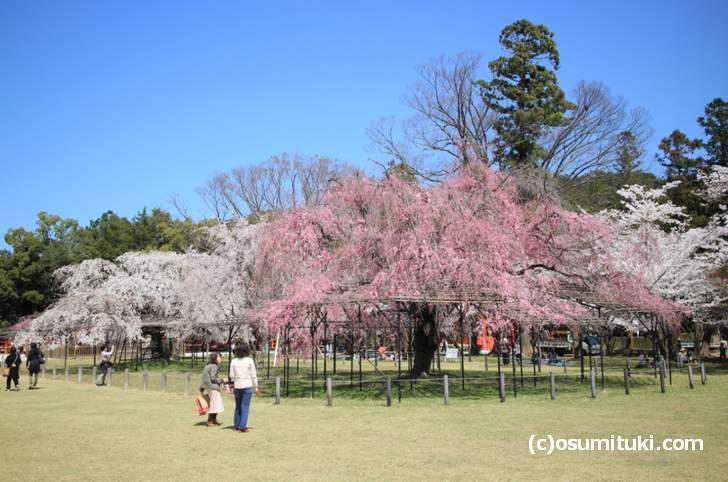 上賀茂神社の桜はまだ満開でしたがピークは過ぎていました(2018年3月30日撮影)