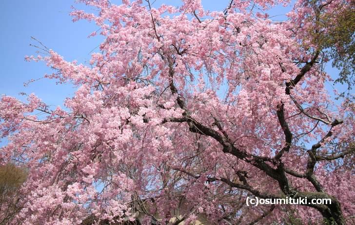 満開で完全な見頃となった紅枝垂れ桜(2018年4月1日撮影)