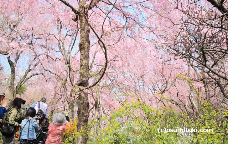 桜の満開を迎えた原谷苑(2018年4月1日朝撮影)