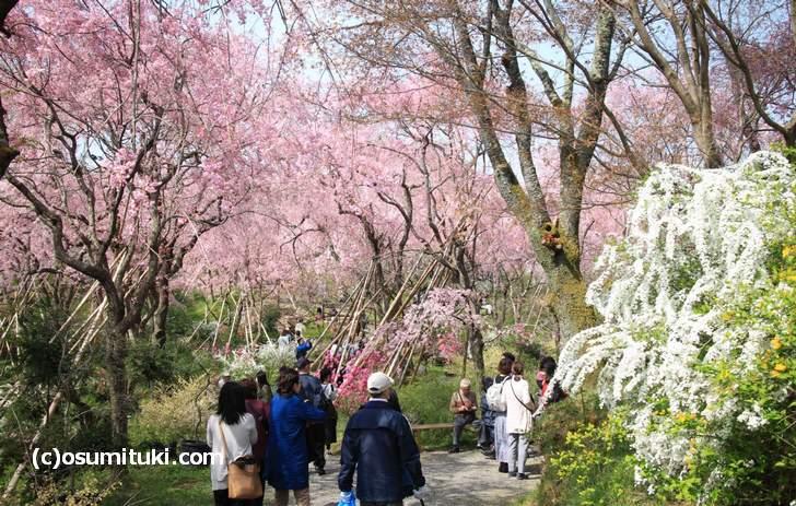 一番の見頃を迎えた原谷苑の桜(2018年4月1日撮影)