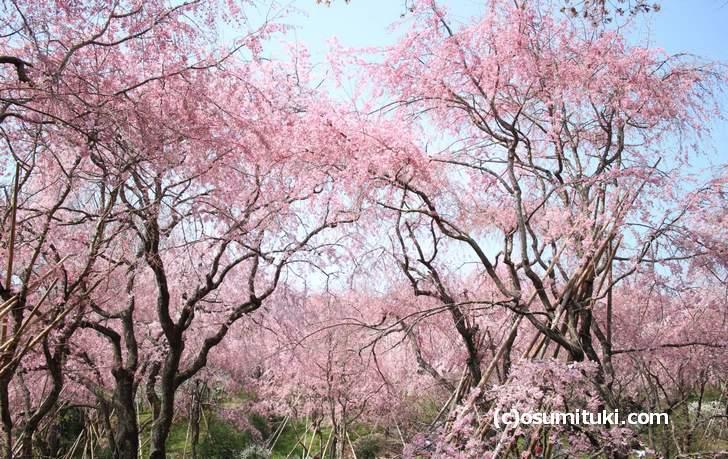 原谷苑に桜のシャワーが降り注いでいます(2018年4月1日撮影)