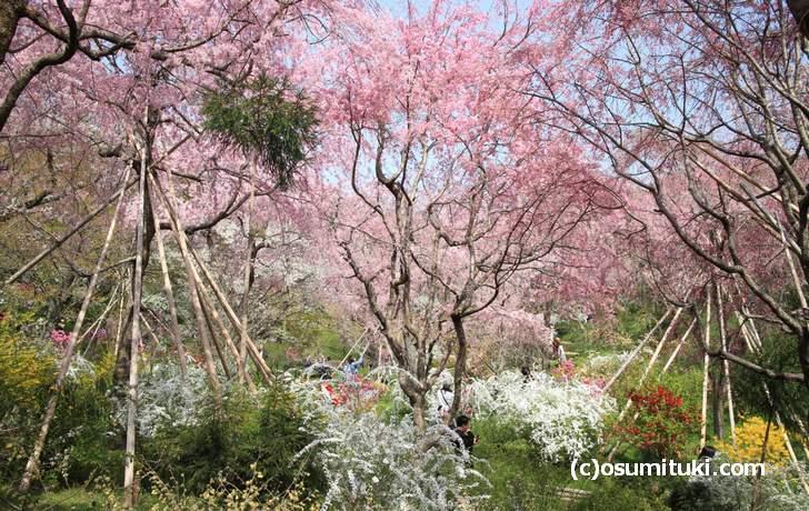 広い庭園は高低差があるので桜の見方にもバリエーションがあります(2018年4月1日撮影)
