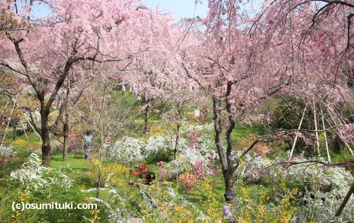 春の花と一緒に撮影もできます(2018年4月1日撮影)