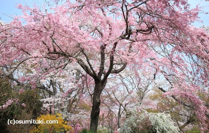 立派な桜が多いのも原谷苑の特徴です(2018年4月1日撮影)