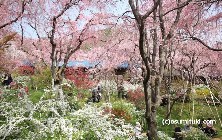 「茶屋」を眺め桜を見る(2018年4月1日撮影)