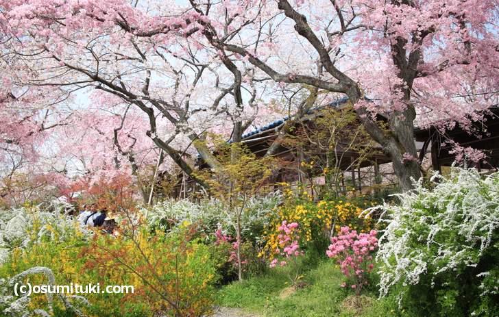 桜に囲まれた茶屋は絵になります(2018年4月1日撮影)