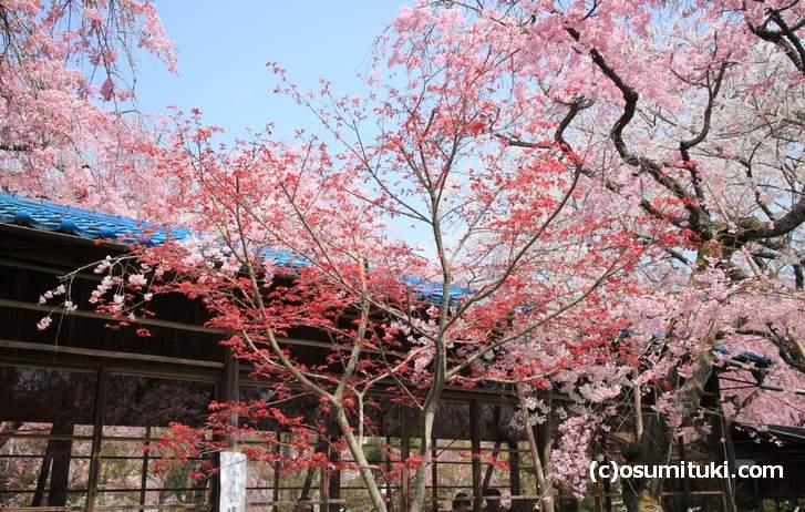桜と紅葉が撮影できる奇跡のスポット(2018年4月1日撮影)