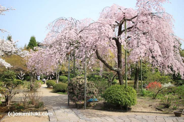 法金剛院の紅しだれ桜が満開(2018年3月29日撮影)