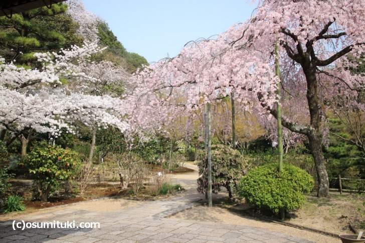 本堂に座って見る桜がベストポジション(2018年3月29日撮影)