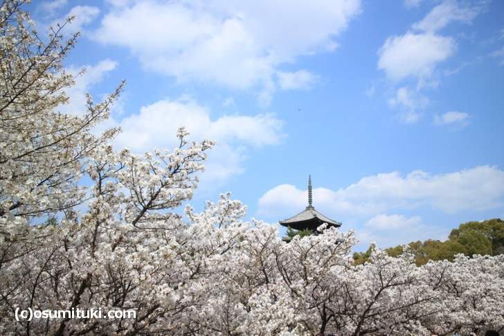 4月3日に満開となったお室桜(2018年4月3日撮影)